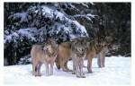 Loups contrôlant le territoire